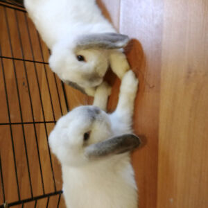 2 sweet and energetic holland lop available!
