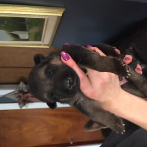 German Shepherd puppies Black and Tan short hair and straight ba