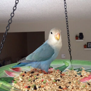 love bird and budgie to good home