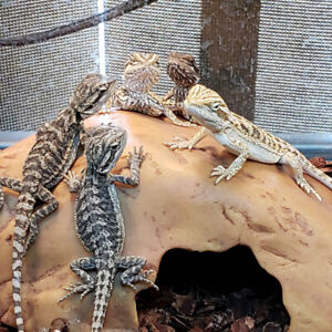 Baby bearded dragons here @The Extreme Aquarium