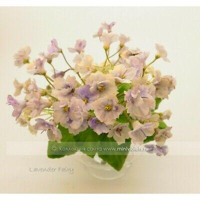 African Violet Lavender Fairy