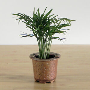 Easy care small palm plants in a brown mini pot ebay for Easy care plants for pots