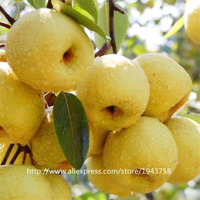 30Pcs Golden Pear Asian Pear Fruit Seeds Potted Pear Tree
