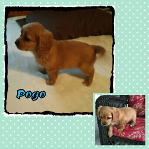 Cavapoo  1- M + 1-F left  Ready for their new home this weekend