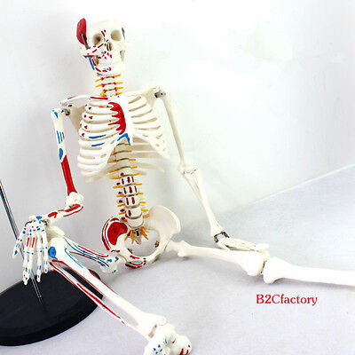 (85cm Human Anatomical Anatomy Skeleton Medical Model Muscle +Stand Fexible Sale)