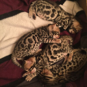 **GORGEOUS BENGAL CUBS**