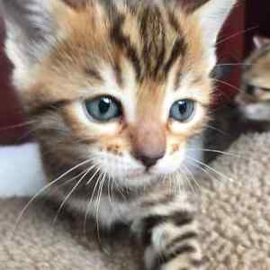 TOP QUALITY BENGAL LEOPARD KITTENS Looking for a loving home