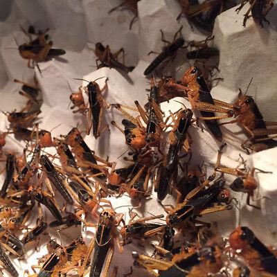 Großpackung Wanderheuschrecken subadult ca.100 Stück -Futterinsekten,Futtertiere