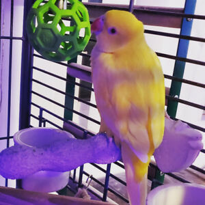 Beautiful female ring neck parrot