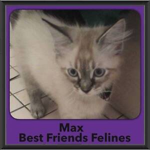 Max - Best Friends Felines Shailer Park Logan Area Preview