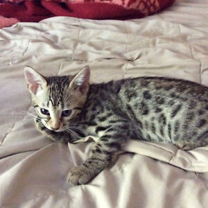 Exotic pure bred F4 Bengal Cubs! Amazing markings! Only 1 left!