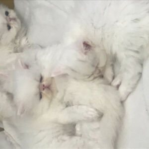 5 kittens are ready to sell,