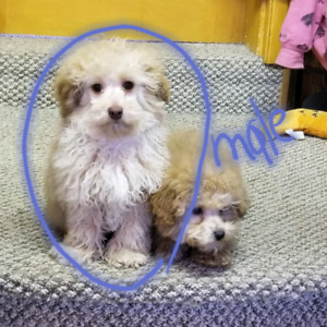 Maltipoo Poodle Cross Male Puppies