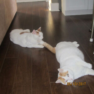 Looking to Re-Home 2 Loveable Male Twin Cats