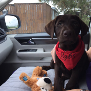 Purebred Chocolate Lab Puppies Registered with Papers AVAILABLE!