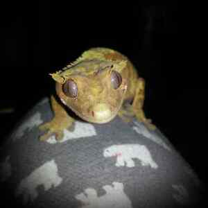 Adult Female Crested Gecko