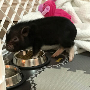 Mini Pig With crate and blanket