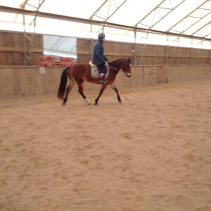 Show Pony Prospect looking for home - safe!