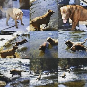Chesapeake Bay Retriver Puppies for sale