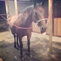 free 19 year old TB mare
