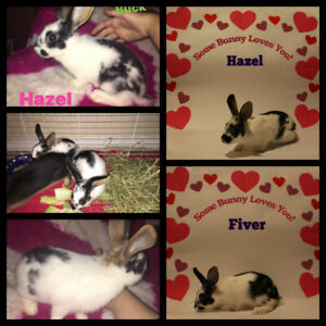 2 Bonded Male Hotot Mix Rabbits for Adoption - Fiver and Hazel