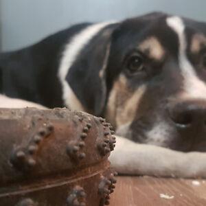2 Bull Mastiff / Aussie Shepard / Rottweiler Puppies Need Homes