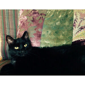 Missing black male cat