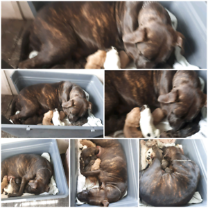 Bullmastif x staffy puppies