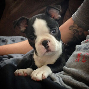 Pure bred Boston terrier