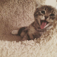 Grey Shorthair Kitten looking for a new home