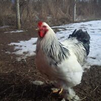Brahma Rooster - Young Adult