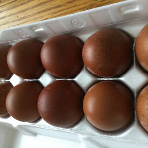 hatching eggs - pure french black copper marans