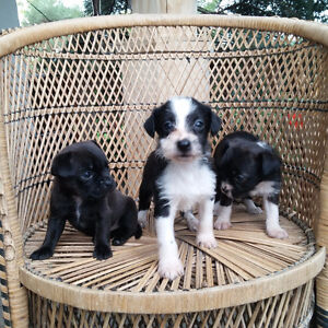 Boston/Poodle puppies for sale