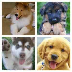 Looking for puppy.  Golden Retriever, Lab, Collie, Husky or Germ