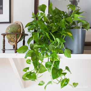 Cuttings of Pothos