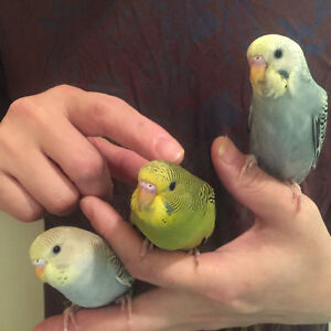 Friendly Tamed Baby Budgies