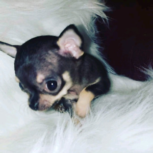 True Teacup chihuahua female puppy. Regd & health tested parents
