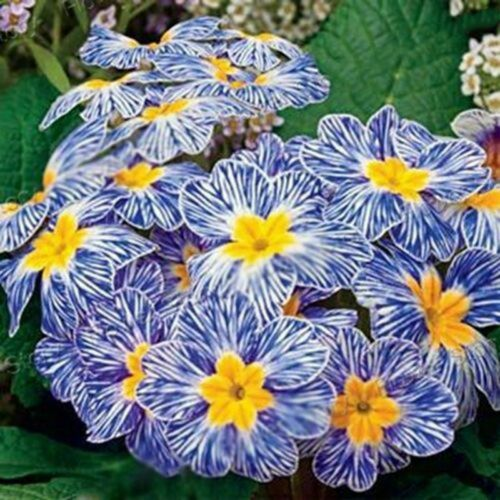 100 Rare Blue Evening Primrose Seeds Sundrops Scabish Garden Flower S031