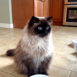 Wanted: Chocolate  or a Seal point Himalayan , MALE  KITTEN