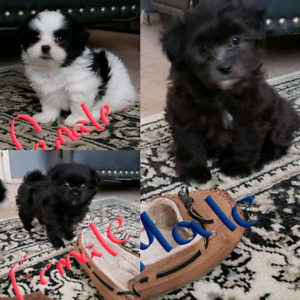 GORGEOUS SHIH TZU PUPPIES AVAILABLE!- 3 LEFT!
