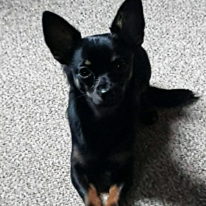 Looking to adopt or take in a female Chihuahua