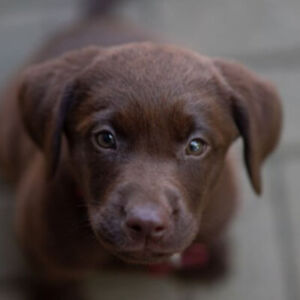 Chocolate lab purebred