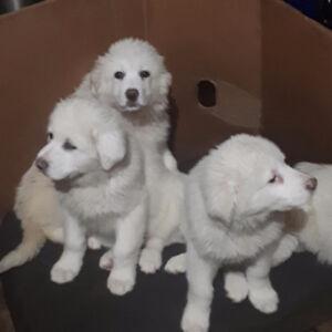 Marrema Sheepdog Puppies for Sale