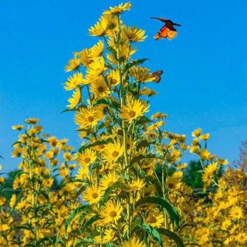 MAXIMILIAN Sunflower PERENNIAL 3-8' Butterflies Finches Love Non-GMO 50 Seeds!