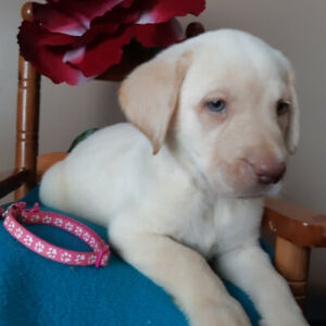 Labrador puppies #0027 only 1 pups  available 1 yellow female