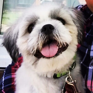 Shih tzu puppy needs a forever home