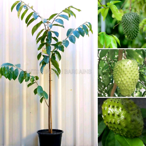 Large Soursop Fruit Trees Plants From $95 each Perth