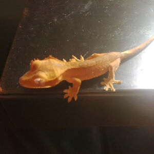 4 Baby Crested Geckos Ready for their New Homes!