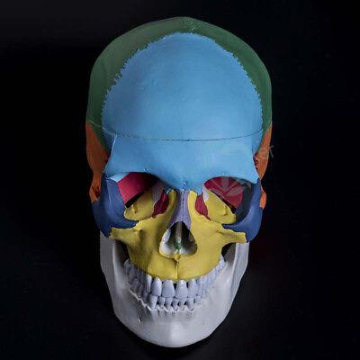 Human Skull Anatomical Anatomy Skeleton Medical Model Colored Bones