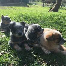 Blue Heeler x Red Heeler Pure Bred Pups Kersbrook Adelaide Hills Preview